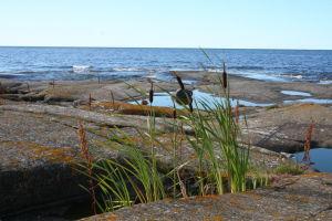 Märket majakan kallioilla kasvistoa: suolaheinä, osmankäämi, kamomillasaunio ja keltajäkälä