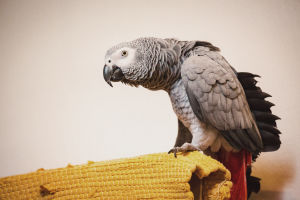 Papegoja Iivo sitter på en dörr.