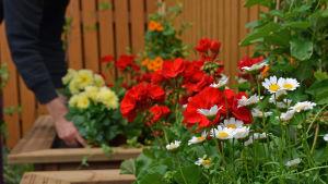 Färgglada blommor. I bakgrunden en person som planterar en blomma.