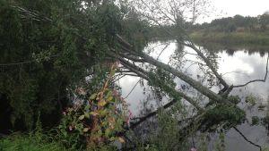 Träd med rötter drogs ut i Lappfjärds å
