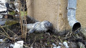 En utsvulten sälkut sökte sig upp på land i Raseborg