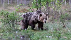 Brunbjörn i skogen i Norra Karelen