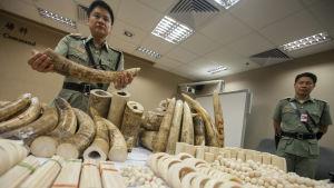 Tjänsteman vid tullen i Hongkong visar upp elfenben som tullen beslagtagit.