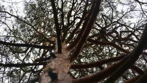 En tall fotograferad nerifrån och uppåt så att en massa gamla kvistar syns i toppen av tallen.