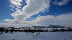 Lumisessa maisemassa pieniä kippuraisia vaivaiskoivuja. Taustalla kohoaa lumen peittämä tunturi, sinisellä taivaalla kulkee pilvivanoja, jotka luovat tunturin valkeuteen sinisen varjon.