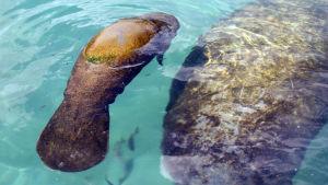 En tre veckor gammal manat simmar bredvid sin mamma på Puerto Aventuras recreation center i Quintana Roo state, Mexiko, den 4 Oktober 2010.