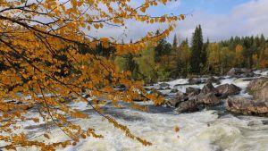 Vesi virtaa koskessa, ympärillä syksyisiä puita.