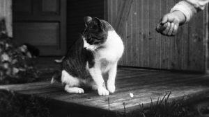 Katt i Raivola