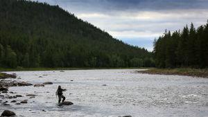 Kalastaja Ivalojoella