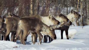 Skogsrenar i vinterlandskap.