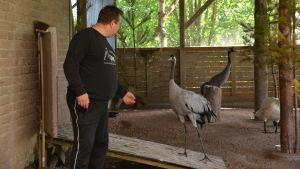 Arto Hokkanen är inne i fågelburen och hälsar på tranan Piipa.