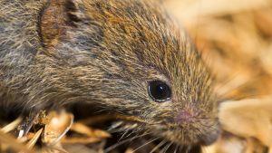 En mus i närbild.
