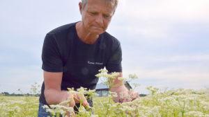 Dan Kjällberg kontrollerar att inga kumminmaskar finns bland blommorna.