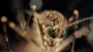 Tutkijat ovat löytäneet uutta tietoa hyttysen herkästä biologiasta ja sen levittämistä taudeista.
