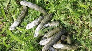 Valkoposkihanhen ulosteita nurmikolla
