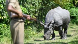 A forest guard keeps up vigil on a one- horned Rhino which takes shelter on higher land inside Pobitora Wild Life Sanctuary in the flood affected Morigaon district of Assam, India, 09 September 2013. Heavy rainfall over the last week in neighbouring Aruna