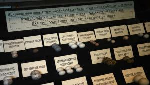 Ägg av utdöda eller utrotningshotade fåglar i vitrin, ur R. Kreugers äggsamling