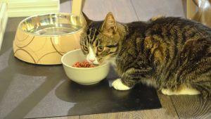 Katt äter mat