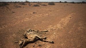 Boskap ligger döda i den torra terrängen