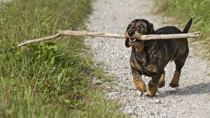 En hund med käpp i munnen.