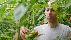 Man som sträcker fram handen till tomater - blad från tomatplantor syns runt omkring