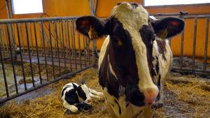 Ko med kalv i ladugård