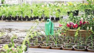 LInnanmäen kasvihuoneessa on kasvamassa kukkia