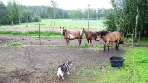 Tre hästar och en hund i en hage. I bakgrunden syns åkrar.