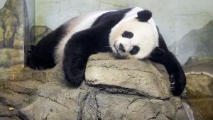 Jättepandan Mei Xiang på Smitsonian Zoo i Washington.