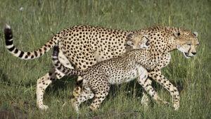 Två geparder