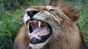 Ett lejon som räddats från ett cirkus och som nu lever i en nationalpark i Madhya Pradesh i Indien.