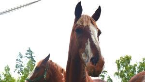 Två hästar i en hage