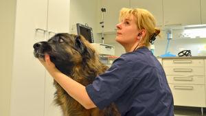 Veterinär Eva Sarkiala undersöker leonbergerhunden Jalmari.