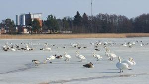 Fåglar på Kåddervikens is.