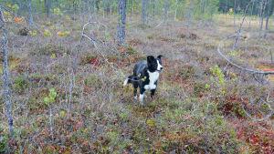 Mustavalkoinen koira metsässä