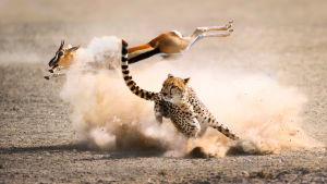 Useimmiten saalistaja epäonnistuu. Menestymiseen tarvitaan tärkeä taito, kuten nopeus tai vaivihkaisuus.