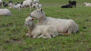 En fårtacka med ett lamm.