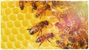 Kuvituskuva: mehiläisiä.