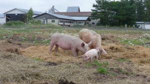 En grisfamilj på en ekologisk svingård i Övermark.