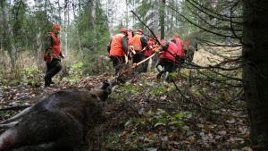 Hirvenmetsästys käynnissä. Kaatunutta hirveä kuljetetaan.