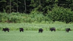 Fem vildsvin på en åker.