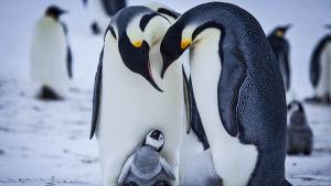 Keisaripingviinien poikaset varttuvat talvella maailman kylmimmässä ympäristössä.