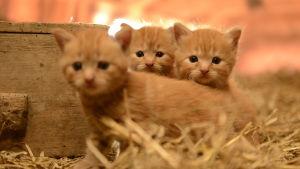 Kissat ovat suosittuja lemmikkejä, mutta mitä oikeastaan tiedämme niiden elämästä.