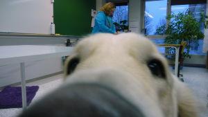 En hund med nosen upp i kameralinsen. I bakgrunden syns en kvinna med blå tröja.