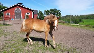 finnhäst sto framför stallet