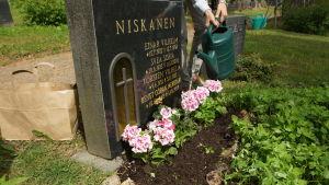 En gravsten med nyplanterade blommor och en kvinna som vattnar blommorna