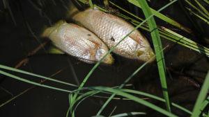 Död fisk i Rutiån