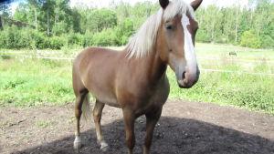 Hästen Komppi rycker in om Kirppu får förhinder.