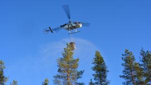 Helikopter sprider gödsel över skog i Seljes i Nedervetil.
