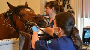 Hästens huvud vilar på ett huvudstöd. Den har en munstege på sig och veterinären tittar in i munnen på hästen.